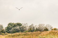 Seagull Flying Over Reeds Of T...