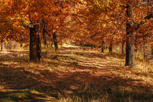 Dirt Road In An Oak Grove On A...