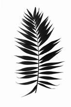 Single Black Leaf Of Palm Tree Isolated On White Background. Ideal For Print Canvas Home Decoration.