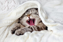 Close-up Picture Of A Cat Yawning Under The Blanket