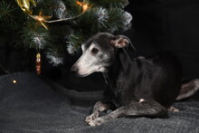 A Black Little Dog Lies Under A Christmas Tree. Greyhound Is Celebrating The New Year
