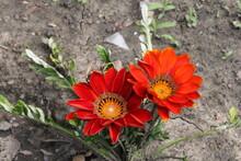 Two Dark Orange Flowers On Dried Ground