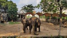 Two Elephants In The Saigon Zoo. Ho Chi Minh City. Vietnam. South-East Asia