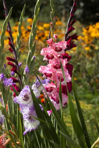 Fotografía Pink, orange, blue and crimson gladioli bloom in summer in a flower bed