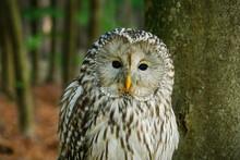 Portrait Of Owl. Ural Owl, Str...