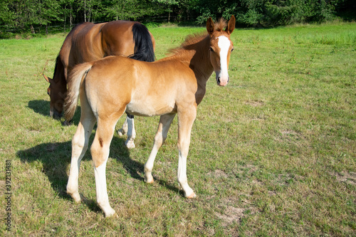 Tela horse and foal