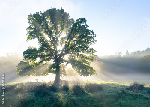 Photo Old oak erupting with light