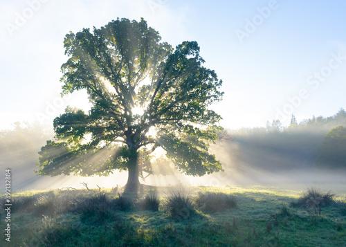 Fotografie, Tablou Old oak erupting with light
