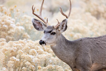 Mule Deer Buck In Grand Canyon...
