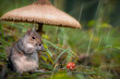 canvas print picture - Squirrel hiding under the mushroom in the rain