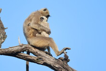 Baboon Sitting On A Branch