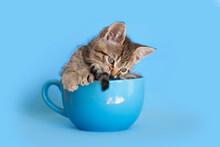 Brown Tabby Kitten Sittng Inside Of A Blue Coffee Mug, Blue Background.