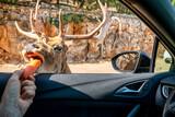 Fototapeta Sawanna - Safari in Bari, Italy. Driving in the car and feeding animsl like blackbuck, antilopes, giraffee, donkeys, zebras and camels.