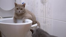 Two British Cats Are Exploring Toilet. One Cat Is Sitting On Toilet, Second Next