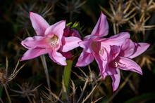 Pretty Pink Lilies Blooming In...