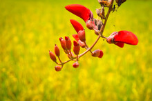 Red Erythrina Variegata Flower