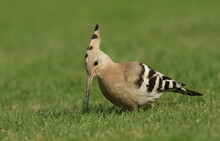A Magnificent Hoopoe, Upupa Ep...