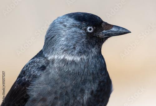 Fototapeta premium Portrait of a black raven.