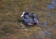 Coot Bird (water Chicken) Clos...