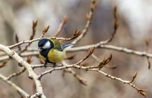 Bird Tit Close Up On A Branch ...