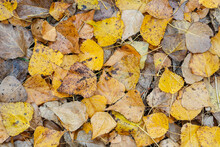 Detail Of The Fallen Leaves Of...