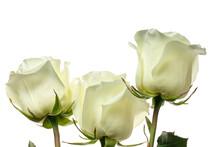 White Roses. Three Buds Of Whi...