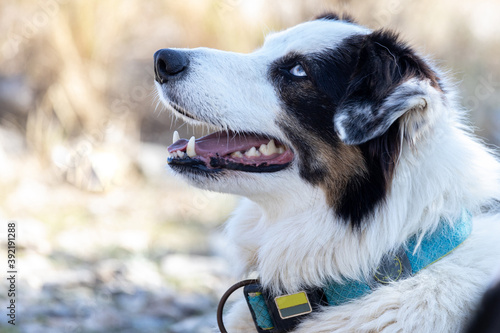 Fotografie, Tablou Closeup of a border collie on a leash under the sunlight with a blurry backgroun