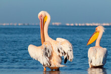 Two Large White Pelicans Stand...