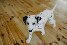 Puppy Of Dalmatian Dog Walks On The Wooden Floor.