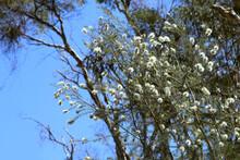 Swamp Paperbark (Melaleuca Rhaphiophylla) White Flowering Endemic Small Tree Of Western Australia
