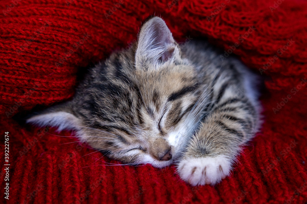 Fototapeta Small smiling striped kitten lying on back sleeping on white blanket. Concept of cute adorable pets cats.