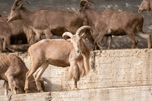 Barbary Sheep (Ammotragus Lerv...