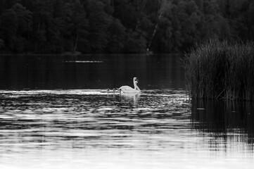 Czarno białe ujęcie pływającej łabędzicy z młodymi w pobliżu  trzcin
