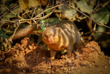 Common Dwarf Mongoose (Helogal...
