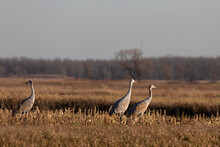 The Flock Of Sandhill Cranes On Field