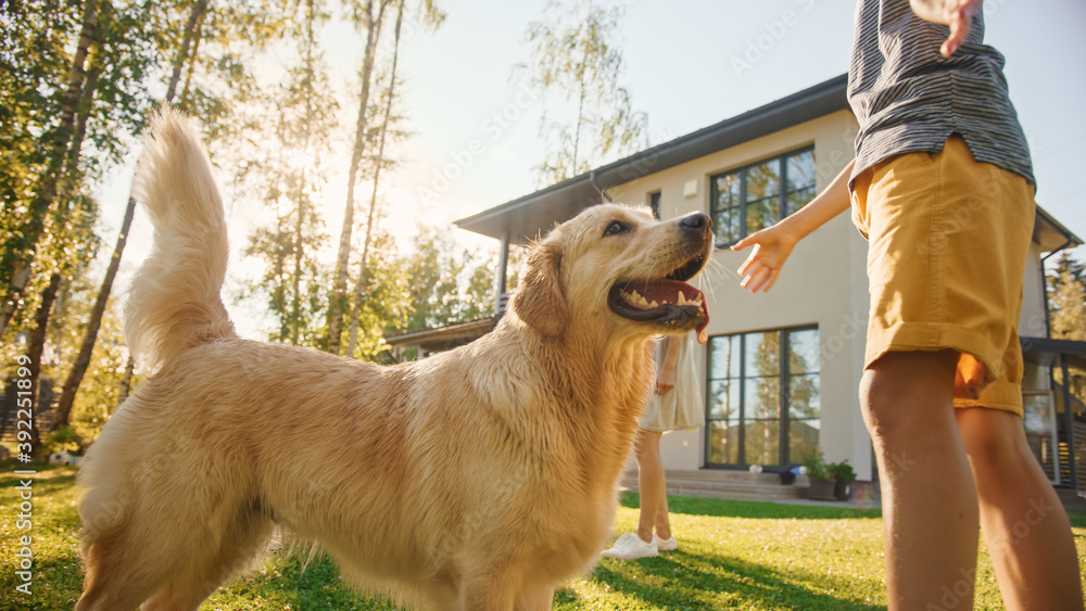 Fototapeta Smiling Beautiful Family of Four Play Catch flying disc with Happy Golden Retriever Dog on the Backyard Lawn. Idyllic Family Has Fun with Loyal Pedigree Dog Outdoors in Summer House.