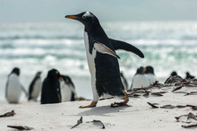A Gentoo Penguin Walking On Th...