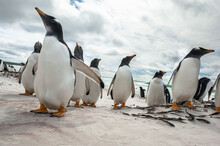 Gentoo Penguins On The Beach A...