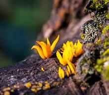 Calocera Cornea (Latin Calocera Cornea) Is A Species Of Basidiomycota Fungi (Basidiomycota) Of The Dacrymycetaceae Family.