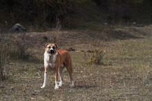 Caucasian Shepherd Dog. Anatolian Shepherd Dog