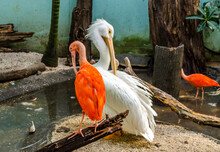 Beautiful Ibis Birds, Scarlet And White, In An Artificial Environment With Pond And Tropical Trees In A Zoo.