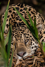 Jaguar (Panthera Onca), Pantanal, Mato Grosso, Brazil