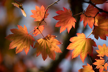 Backlit Maple Tree Leaves In Autumnal Shades