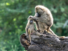 Olive Baboons (Papio Anubis) Grooming Each Other In Ngorongoro Conservation Area, Tanzania
