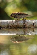 A Young House Sparrow Reflected In A Pond In A North Yorkshire Garden