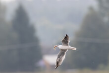 Juvenile Black-headed Gull (Ch...