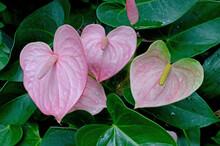 Pink Anthurium, Laceleaf, Heart Shaped
