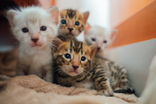 4 Bengal Kittens