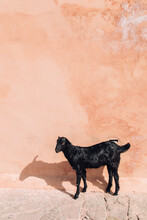 Little Goat Against A Pink Wall