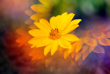 Yellow Daisies Photographed Th...